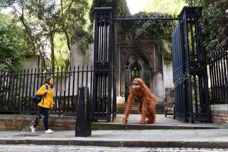 Editorial photo of Orangutan, London, UK - 08 Oct 2020