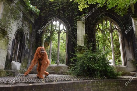 """Onlookers were shocked when they saw a huge orangutan making a derelict church his new home in central London today.  Passers by spotted the enormous animatronic ape cavorting among the ruins of St Dunstan in the East Church in the centre of the city, not far from the Tower of London.  The orangutan surprised people as part of a stunt by natural nut butter brand Meridian to highlight the fact that Bornean orangutans will go extinct if their habitat continues to be destroyed to make way for palm oil plantations.  Shocking figures reveal that 38 per cent of Britons still do not avoid palm oil. The WWF says it appears in 50 per cent of all packaged products.  The creature, called Pongo, which is latin for Orangutan, was said to have taken up residence in the ruins as the vines and overgrown trees remind him of the home he was forced to flee in his native Borneo.  It's estimated that between 1990 and 2015, 24 million hectares of Indonesian rainforest - an area the size of the UK - was destroyed, and that there are now just 100,000 Bornean orangutans left.  Meridian, whose foods are palm oil free, launched the #ProtectPongo campaign with charity partner International Animal Rescue, who are dedicated to rescuing, rehabilitating and releasing orangutans.  A street art campaign in collaboration with artist Louis Masai began two weeks ago, seeing murals of orangutans, interacting with the threats they face, created in Glasgow, London, Birmingham and Manchester.  Paul Fraser, managing director of Meridian Foods, said: """"There are simple steps we can all take to help turn around the fate of the orangutan species - avoiding foods with palm oil is a starting point.  """"By proactively choosing products that don't contain palm oil, everyone can help reduce demand and deforestation, protecting orangutans like our ambassador, Pongo, in the process.  """"So many products contain palm oil which simply don't need to, and would taste better without it."""""""