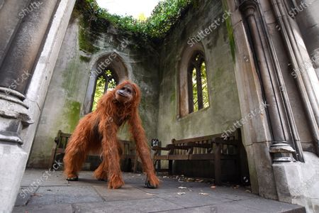 """Stock Photo of Onlookers were shocked when they saw a huge orangutan making a derelict church his new home in central London today.  Passers by spotted the enormous animatronic ape cavorting among the ruins of St Dunstan in the East Church in the centre of the city, not far from the Tower of London.  The orangutan surprised people as part of a stunt by natural nut butter brand Meridian to highlight the fact that Bornean orangutans will go extinct if their habitat continues to be destroyed to make way for palm oil plantations.  Shocking figures reveal that 38 per cent of Britons still do not avoid palm oil. The WWF says it appears in 50 per cent of all packaged products.  The creature, called Pongo, which is latin for Orangutan, was said to have taken up residence in the ruins as the vines and overgrown trees remind him of the home he was forced to flee in his native Borneo.  It's estimated that between 1990 and 2015, 24 million hectares of Indonesian rainforest - an area the size of the UK - was destroyed, and that there are now just 100,000 Bornean orangutans left.  Meridian, whose foods are palm oil free, launched the #ProtectPongo campaign with charity partner International Animal Rescue, who are dedicated to rescuing, rehabilitating and releasing orangutans.  A street art campaign in collaboration with artist Louis Masai began two weeks ago, seeing murals of orangutans, interacting with the threats they face, created in Glasgow, London, Birmingham and Manchester.  Paul Fraser, managing director of Meridian Foods, said: """"There are simple steps we can all take to help turn around the fate of the orangutan species - avoiding foods with palm oil is a starting point.  """"By proactively choosing products that don't contain palm oil, everyone can help reduce demand and deforestation, protecting orangutans like our ambassador, Pongo, in the process.  """"So many products contain palm oil which simply don't need to, and would taste better without it."""""""
