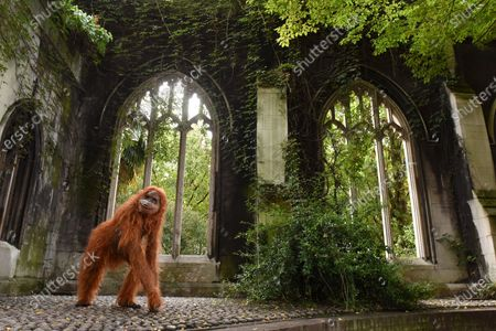 Editorial image of Orangutan, London, UK - 08 Oct 2020