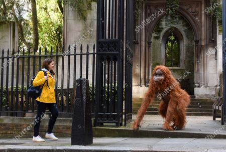 """Stock Image of Onlookers were shocked when they saw a huge orangutan making a derelict church his new home in central London today.  Passers by spotted the enormous animatronic ape cavorting among the ruins of St Dunstan in the East Church in the centre of the city, not far from the Tower of London.  The orangutan surprised people as part of a stunt by natural nut butter brand Meridian to highlight the fact that Bornean orangutans will go extinct if their habitat continues to be destroyed to make way for palm oil plantations.  Shocking figures reveal that 38 per cent of Britons still do not avoid palm oil. The WWF says it appears in 50 per cent of all packaged products.  The creature, called Pongo, which is latin for Orangutan, was said to have taken up residence in the ruins as the vines and overgrown trees remind him of the home he was forced to flee in his native Borneo.  It's estimated that between 1990 and 2015, 24 million hectares of Indonesian rainforest - an area the size of the UK - was destroyed, and that there are now just 100,000 Bornean orangutans left.  Meridian, whose foods are palm oil free, launched the #ProtectPongo campaign with charity partner International Animal Rescue, who are dedicated to rescuing, rehabilitating and releasing orangutans.  A street art campaign in collaboration with artist Louis Masai began two weeks ago, seeing murals of orangutans, interacting with the threats they face, created in Glasgow, London, Birmingham and Manchester.  Paul Fraser, managing director of Meridian Foods, said: """"There are simple steps we can all take to help turn around the fate of the orangutan species - avoiding foods with palm oil is a starting point.  """"By proactively choosing products that don't contain palm oil, everyone can help reduce demand and deforestation, protecting orangutans like our ambassador, Pongo, in the process.  """"So many products contain palm oil which simply don't need to, and would taste better without it."""""""