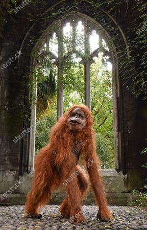 Editorial picture of Orangutan, London, UK - 08 Oct 2020