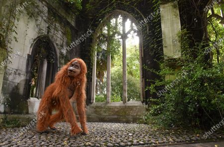 """Stock Picture of Onlookers were shocked when they saw a huge orangutan making a derelict church his new home in central London today.  Passers by spotted the enormous animatronic ape cavorting among the ruins of St Dunstan in the East Church in the centre of the city, not far from the Tower of London.  The orangutan surprised people as part of a stunt by natural nut butter brand Meridian to highlight the fact that Bornean orangutans will go extinct if their habitat continues to be destroyed to make way for palm oil plantations.  Shocking figures reveal that 38 per cent of Britons still do not avoid palm oil. The WWF says it appears in 50 per cent of all packaged products.  The creature, called Pongo, which is latin for Orangutan, was said to have taken up residence in the ruins as the vines and overgrown trees remind him of the home he was forced to flee in his native Borneo.  It's estimated that between 1990 and 2015, 24 million hectares of Indonesian rainforest - an area the size of the UK - was destroyed, and that there are now just 100,000 Bornean orangutans left.  Meridian, whose foods are palm oil free, launched the #ProtectPongo campaign with charity partner International Animal Rescue, who are dedicated to rescuing, rehabilitating and releasing orangutans.  A street art campaign in collaboration with artist Louis Masai began two weeks ago, seeing murals of orangutans, interacting with the threats they face, created in Glasgow, London, Birmingham and Manchester.  Paul Fraser, managing director of Meridian Foods, said: """"There are simple steps we can all take to help turn around the fate of the orangutan species - avoiding foods with palm oil is a starting point.  """"By proactively choosing products that don't contain palm oil, everyone can help reduce demand and deforestation, protecting orangutans like our ambassador, Pongo, in the process.  """"So many products contain palm oil which simply don't need to, and would taste better without it."""""""
