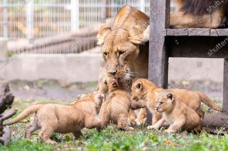 Four lion cubs (Panthera leo) in their outdoor enclosure with their mother during their presentation at the Nyiregyhaza Animal Park, in Nyiregyhaza, Hungary, 10 October 2020.