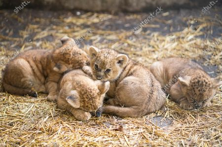 Editorial picture of Four lion cubs at Nyiregyhaza zoo, Hungary - 10 Oct 2020