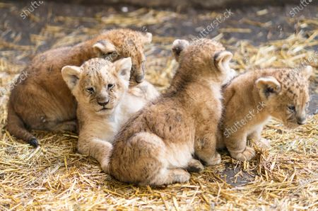 Stock Photo of Four lion cubs (Panthera leo) in their outdoor enclosure during their presentation at the Nyiregyhaza Animal Park, in Nyiregyhaza, Hungary, 10 October 2020.