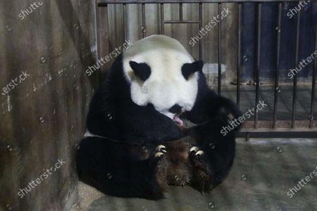 Editorial photo of China Shaanxi Qinling Panda Cub - 11 Oct 2020