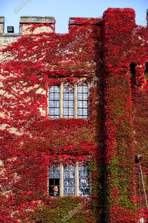 Stunning autumnal colour at Hever Castle, Kent. The Boston Ivy adorning the front of the Castle has turned a vivid shade of red. 