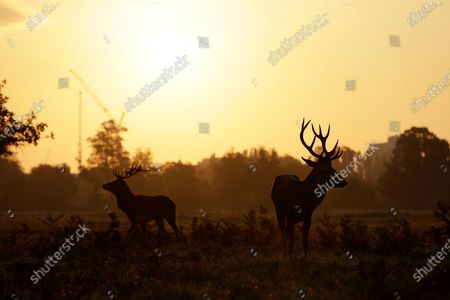 Stock Picture of Young stags stand in the light of the rising sun during the rutting (breeding) season which takes place in autumn, in Bushy Park, south west London