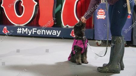 Maddie looks up to her owner Ali Cook as they wait to vote during early voting inside  Fenway Park in Boston, Massachusetts, USA, 17 October 2020. Early voting takes place in Massachusetts from 17 October 2020 to 30 October 2020 ahead of the 03 November 2020 election.