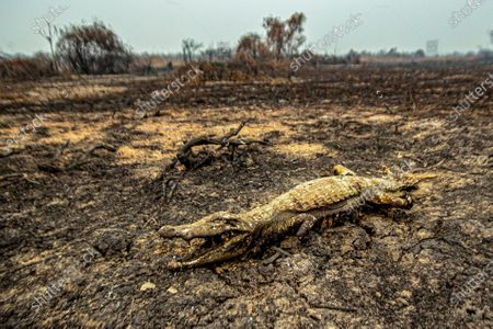 YEARENDER 2020  CLIMATE CHANGE   View of a dead crocodile in the town of Porto Jofre, municipality of Pocone, Mato Grosso state, Brazil, 18 September 2020. The fires have already devastated 22 percent of the 14 million hectares of the Brazilian Pantanal, the largest wetland in the world that is shared with Paraguay and Bolivia.