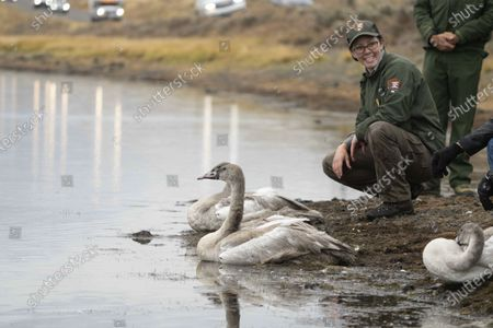 This photo provided by the National Park Service shows, Yellowstone National Park wildlife biologist Lauren Walker participating in the release of eight young trumpeter swans (cygnets) at Alum Creek in the park's Hayden Valley near Mammoth, Wyo. Saturday, Sept.19, 2020. The National Park Service and several organizations have been working to rebuild the population of trumpeter swans in the park, which peaked at 72 in 1961 and fell to just four in 2009 and 2010의 스톡 사진
