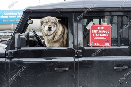 ; Marlborough, UK. A dog is seen in a vehicle at a Save British Farming protest with tractors through the centre of Marlborough campaigning to maintain food standards which are under threat from a post-Brexit trade deal with the USA. There's a family stand off with local MP for Devizes, Danny Kruger, who rejected the Lords' amendments to the Agriculture Bill to maintain food and environmental standards. But his mother the famous cook Prue Leith is asking to keep those standards and Save British Farming want his mother to win this argument with the aid of tractors.