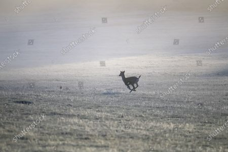 A young deer runs through a frost covered landscape at sunrise in Richmond Park, south west London on a cold Autumn morning.