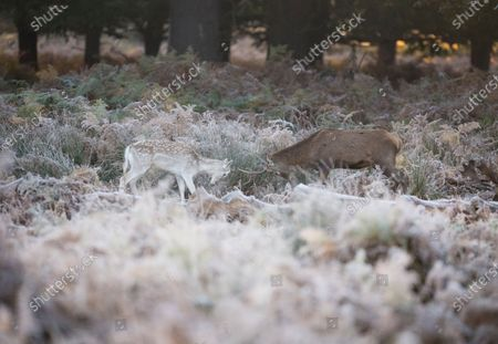 Two young deer rutting in a frost covered landscape at sunrise in Richmond Park, south west London on a cold Autumn morning.