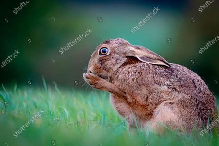 """Stock Image of Oh no!  A hare looks shocked as it holds a paw up to it's mouth in the Evenlode Valley, within the Cotswolds, Gloucestershire.  With these brown hares being Britain's quickest land mammals, reaching speeds of up to 45 mph this one was actually cleaning it's paws, but events manager Richard Ellis, 52, managed to picture it at exactly the right moment to create this comical pose.  Mr Ellis said """"Hares always keep their shoes clean so to speak.  This one was cleaning its paws, as they need the best grip for a quick get away.""""   """"To me it looks like the hare has suddenly remembered it's forgotten something - like when you've forgotten your mask on the way to the shops!"""""""