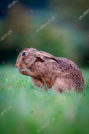 Editorial picture of Hare spotted, Evenlode Valley, UK - 03 Nov 2020