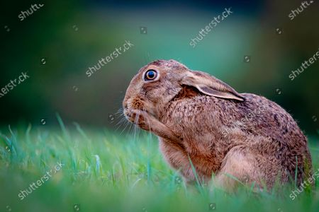 """Oh no!  A hare looks shocked as it holds a paw up to it's mouth in the Evenlode Valley, within the Cotswolds, Gloucestershire.  With these brown hares being Britain's quickest land mammals, reaching speeds of up to 45 mph this one was actually cleaning it's paws, but events manager Richard Ellis, 52, managed to picture it at exactly the right moment to create this comical pose.  Mr Ellis said """"Hares always keep their shoes clean so to speak.  This one was cleaning its paws, as they need the best grip for a quick get away.""""   """"To me it looks like the hare has suddenly remembered it's forgotten something - like when you've forgotten your mask on the way to the shops!"""""""