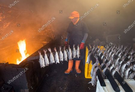 Stock Photo of A proprietor of Arbroath Fisheries Ltd. Campbell Scott, prepares a new batch of smokies at his smokery in Arbroath, Scotland, Britain, 11 November 2020. A Smokie is a hot smoked haddock cooked in a barrel over an open flame. The company use Scottish haddock sourced from the cold waters of the North Sea and still produce it using traditional methods. Having attained PGI Status in 2004 Arbroath Smokies can only be produced within a five mile radius of the town center and enjoy the same status as Parma Ham and Champagne. The methods are strictly monitored to ensure customers are receiving the genuine article.