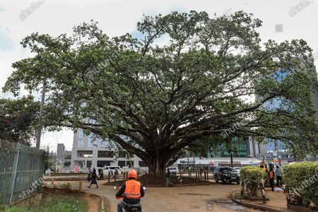 Kenyan motorists pass an iconic century-old fig tree, after President Uhuru Kenyatta issued a declaration to save the tree from being cut to pave way for a Chinese-funded highway in Westlands district of Nairobi, Kenya, 12 November 2020. The decree issued by Kenyatta, he described the famed tree the height of a four storey building as a 'beacon of Kenya's cultural and ecological heritage'.