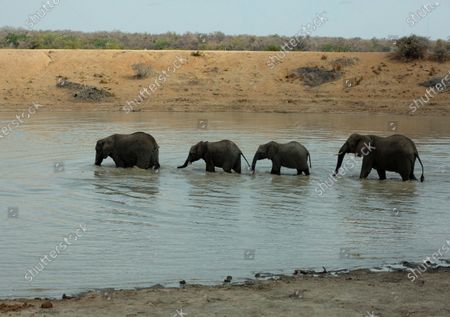 """Elephants make their way through the waters of a dam at """"Adventures With Elephants"""" near Bela Bela, South Africa, where visitors can get to know elephants and bathe them. In an effort to revive its tourism industry, South Africa has opened up international travel to visitors from all countries, President Cyril Ramaphosa has announced. South Africa will now admit foreign visitors providing they produce negative COVID-19 test results, Ramaphosa said in a broadcast address Wednesday, Nov. 11"""