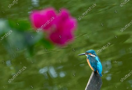 A Common Kingfisher (Alcedo atthis) peaches over a sign on the water at a lake in Myanmar, 17 November 2020.