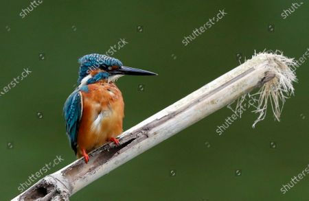 A Common Kingfisher (Alcedo atthis) peaches over a bamboo stick on the water at a lake in Myanmar, 17 November 2020.