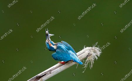 A Common Kingfisher (Alcedo atthis) peaches over a bamboo stick on the water with a small fish in its beak at a lake in Myanmar, 17 November 2020.