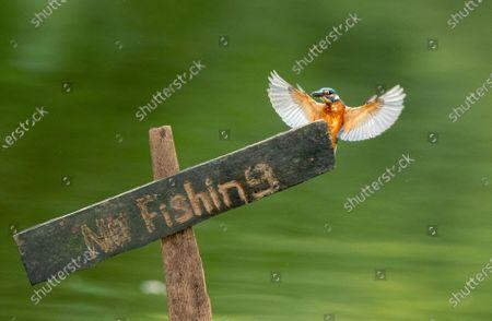 Editorial picture of Myanmar Common Kingfisher in Yangon - 17 Nov 2020