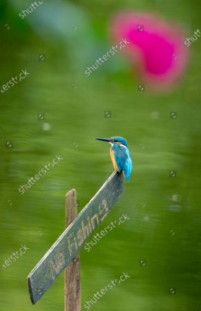 Stock Image of A Common Kingfisher (Alcedo atthis) peaches over a sign on the water at a lake in Myanmar, 17 November 2020.
