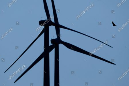 A bird flies among wind turbines near King City, Mo. Hawks and other birds that migrate through the central U.S. to nesting grounds on the Great Plains navigate deadly threats - from electrocution on power lines, to wind turbines that knock them from the air and oil field waste pits where landing birds perish in toxic water