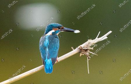 Editorial image of Myanmar Common Kingfisher in Yangon - 19 Nov 2020