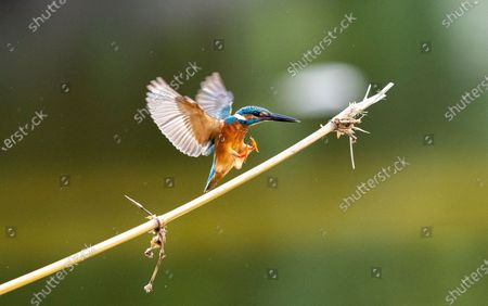 A Common Kingfisher (Alcedo atthis) peaches over a small bamboo stick on the water at a lake in Myanmar, 19 November 2020.