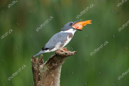 A young kingfisher swallows a large goldfish whole despite its prey being almost as large as it is. The impressive meal was brought to the youngster by one of its parents as it sat on the branch of a dead tree.  These photographs were taken by Chris Schlaf, at a lake in the garden of his home in the village of Romeo, Michigan, in the United States.
