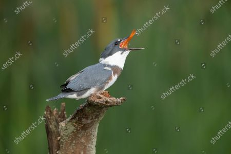 Editorial image of Hungry kingfisher, Romeo, Michigan, USA - 18 Nov 2020