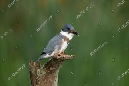 Stock Photo of A young kingfisher swallows a large goldfish whole despite its prey being almost as large as it is. The impressive meal was brought to the youngster by one of its parents as it sat on the branch of a dead tree.  These photographs were taken by Chris Schlaf, at a lake in the garden of his home in the village of Romeo, Michigan, in the United States.