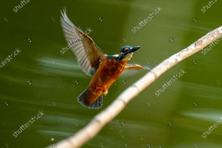 Stock Photo of A Common Kingfisher (Alcedo atthis) peaches over a branch on the water at a lake at the People Park in Myanmar, 21 November 2020.