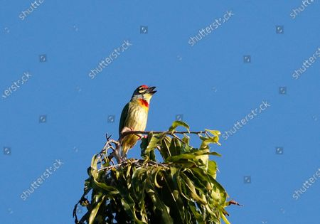 A Coppersmith Barbet (also called crimson-breasted barbet, or just coppersmith) peaches over a branch at the People Park in Myanmar, 21 November 2020.
