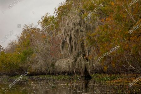Cypress Tree covered in Spanish Moss is seen in changing foliage in the Maurepas Swamp in Ruddock, La., . Located about 35 miles (56 kilometers) west of New Orleans, between Lake Pontchartrain and Lake Maurepas, the swamp takes on a different hue as autumn changes to winter, with much of the foliage temporarily decaying, but still retains its unique beauty and tranquility