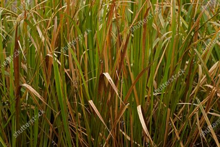 Dying Broadleaf Cattail is seen in the Maurepas Swamp in Ruddock, La., . Located about 35 miles (56 kilometers) west of New Orleans, between Lake Pontchartrain and Lake Maurepas, the swamp takes on a different hue as autumn changes to winter, with much of the foliage temporarily decaying, but still retains its unique beauty and tranquility