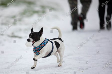 A Jack Russell dog chasing snowballs as people enjoy the snow falling on North West London at Roundwood Park, London.