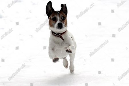 Jack Russell Terrier named Ferguson runs in the snow in Riga, Latvia, 09 February 2021. Due to the cold beginning of February, this winter is likely to be the coldest since 2013.