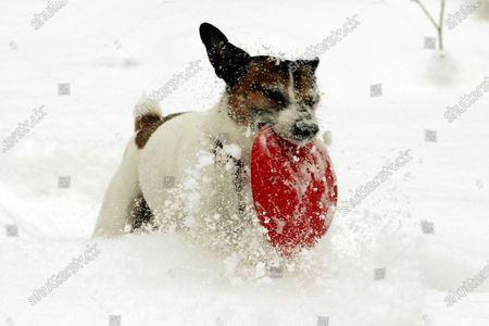 Jack Russell Terrier named Ferguson plays with a frisbee in the snow in Riga, Latvia, 09 February 2021. Due to the cold beginning of February, this winter is likely to be the coldest since 2013.