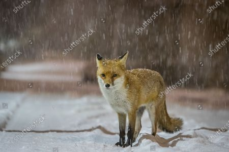 """An urban fox is pictured out during a night of heavy snowfall near Saughton Park, Edinburgh, Scotland.  Photographer Paul Masterton endured sub-zero temperatures and heavy snowfall, while trying to capture an urban fox for the first time. He said """"I have seen many around my estate but have never been lucky enough to get anywhere near them, let alone take pictures of them.""""  Even with the heavy snowfall and the dropping temperatures that have affected many parts of the UK, Paul said """"I hardly noticed the snow and cold as I was so enjoying my first UK fox photography experience. The fox didnt seem to mind too much either as it constantly sat down and preened itself."""""""