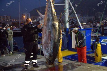 Editorial image of First blue tuna fish in Los Crisitanos port, Tenerife, Spain - 16 Feb 2021