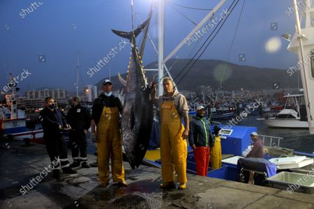 Stock Image of The first bluefin tuna that has reached the port of Los Cristianos weighed 250 kilos and was brought by the New Moby Dick fishing boat along with 10 specimens plus the largest one weighed 305 kilos.