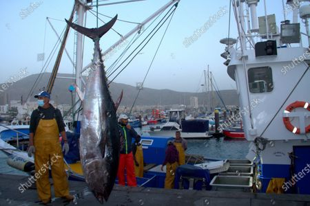 Editorial photo of First blue tuna fish in Los Crisitanos port, Tenerife, Spain - 16 Feb 2021