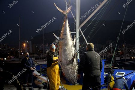 Stock Photo of The first bluefin tuna that has reached the port of Los Cristianos weighed 250 kilos and was brought by the New Moby Dick fishing boat along with 10 specimens plus the largest one weighed 305 kilos.