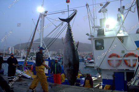 Editorial picture of First blue tuna fish in Los Crisitanos port, Tenerife, Spain - 16 Feb 2021