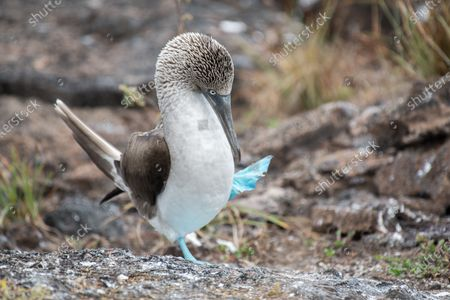 Male blue-footed boobies show off their feet in a fascinating mating dance.  The marine birds shift from one foot to another in an attempt to attract a female mate - and could give Elvis Presley and his Blue Suede Shoes a run for his money.  The colour of the boobies' distinctively bright-blue feet indicates how able a hunter they are - an attractive quality to the opposite sex.